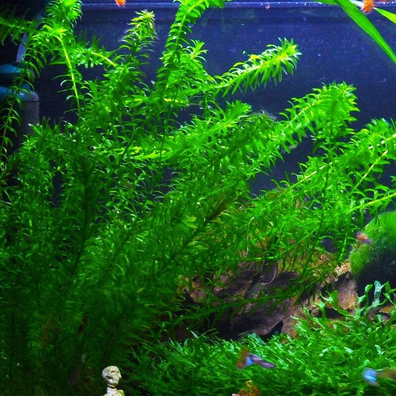 Plante arri re plan d 39 aquarium egeria densa premium pour for Achat plante bassin