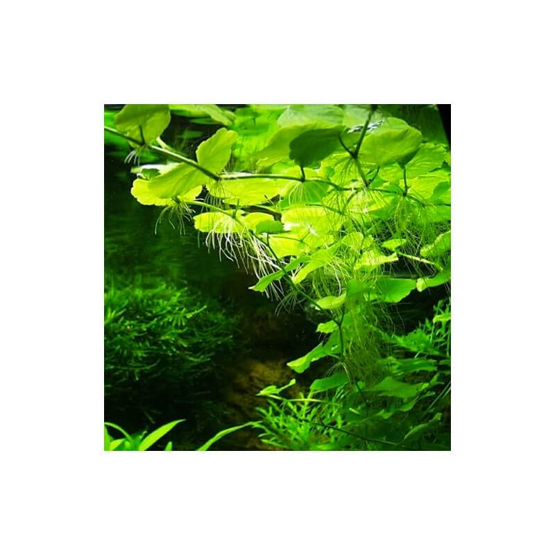 plante arri re plan d 39 aquarium hydrocotyle leucocephala. Black Bedroom Furniture Sets. Home Design Ideas