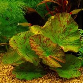Nymphaea Tigerlotus Green PREMIUM