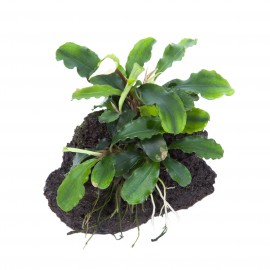 Bucephalandra Wavy Green sur roche Taille Small