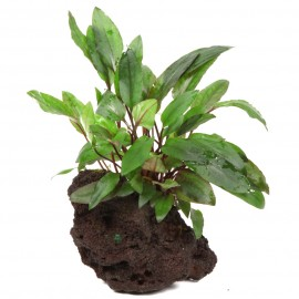 Cryptocoryne Beckettii Petchii sur Roche Taille Small