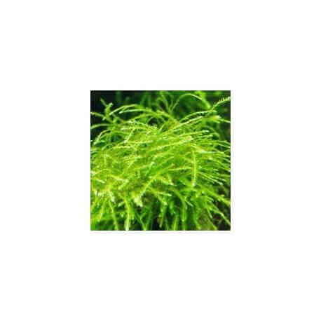 Mini Taiwan Moss Isopterygium sp