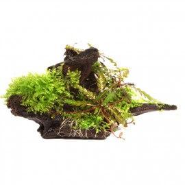 Hygrophila Pinnatifida + Mousse sur Racine