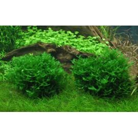 Monosolenium Tenerum sur Roche Taille Small