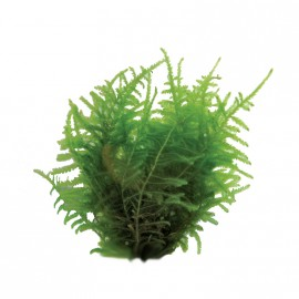 Vesicularia Dubyana Christmas Moss