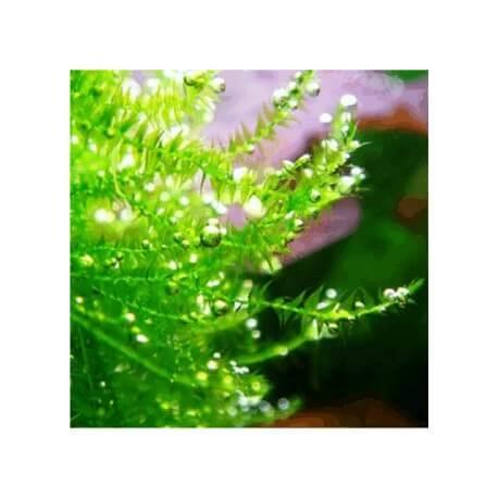 Flat Moss - Drepanocladus Aduncus