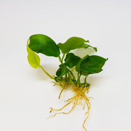Anubias Nana Yellow Eco