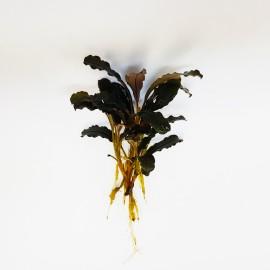 Bucephalandra sp Brown Eco