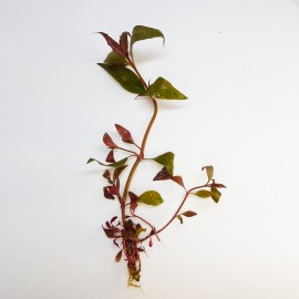 Alternanthera Cardinalis ECO