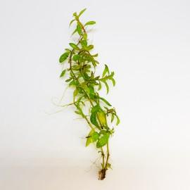 Hygrophila Rosae Australis Eco