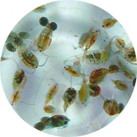 Rotifères Rouges (Brachionus plicatilis)