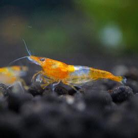 Crevette Orange Rili