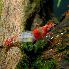 Crevette Red Rili