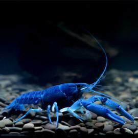 Ecrevisse Procambarus alleni Electric Blue