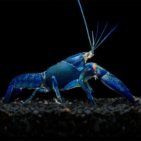 Cherax quadricarinatus sp Super Blue