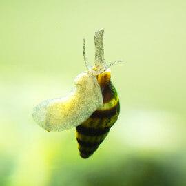 Escargot Anentome helena (mangeur d'escargots)