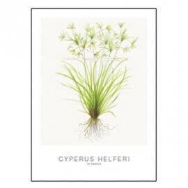 Tropica Carte d'art - Aquarelle - Cyperus Helferi