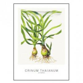 Tropica Carte d'art - Aquarelle - Crinum Thaianum