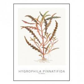 Tropica Carte d'art - Aquarelle - Hygrophila pinnatifida