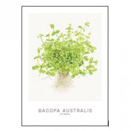 Tropica Carte d'art - Aquarelle - Bacopa Australis