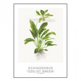 Tropica Carte d'art - Aquarelle - Echinodorus ozelot green