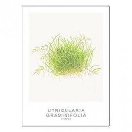 Tropica Carte d'art - Aquarelle - Utricularia graminifolia