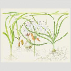 Tropica Poster d'art - Aquarelle - Crinum
