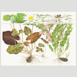 Tropica Poster d'art - Aquarelle - nymphaea