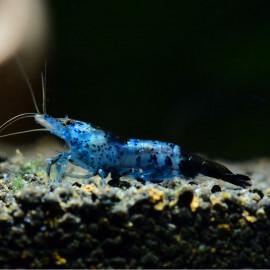 Crevette Rili Blue