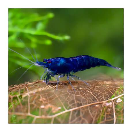 Crevette Neocaridinia heteropoda Blue Velvet - Dream
