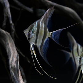 Pterophyllum Altum (Sauvage - Colombie)