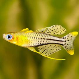 Pseudomugil gertrudae (Elevage semi-sauvage - Indonésie)