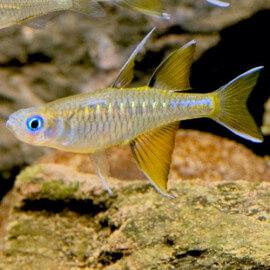 Pseudomugil signifer (Elevage semi-sauvage - Indonésie)