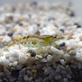 Crevette Indo Amano - Mangeur d'Algues
