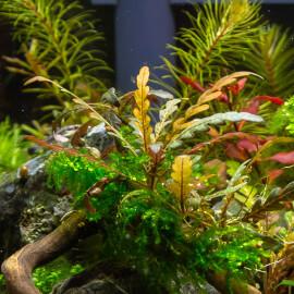 Hygrophila Pinnatifida PREMIUM
