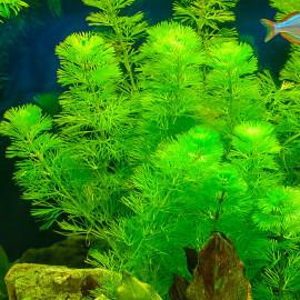cabomba aquatica premium