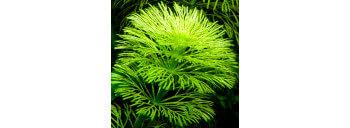 Limnophila Sessiliflora Premium