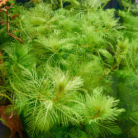 Myriophyllum Mattogrossense PREMIUM