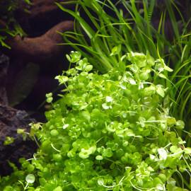 Micranthemum Ambrosum PREMIUM