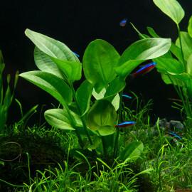 Echinodorus Cordifolius ssp Fluitans PREMIUM