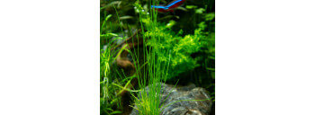 Lilaeopsis sp Premium