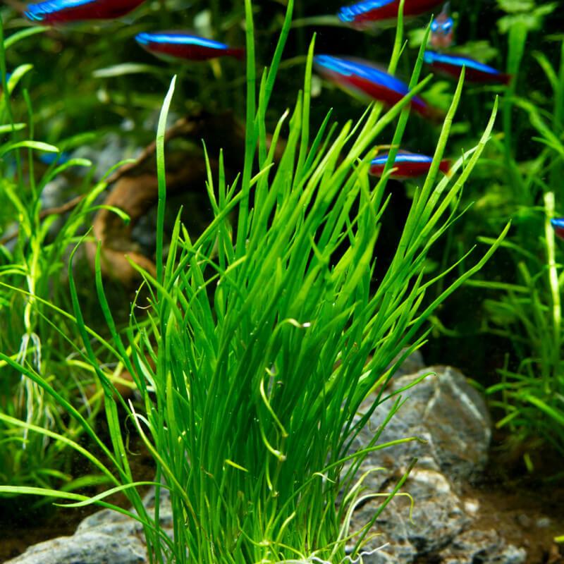 Plantes Plantes d'aquarium Gazonnantes : Lilaeopsis