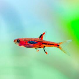 Boraras sp - Rasbora Merah (Elevage semi-sauvage - Indonésie)