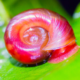Escargot Planorbe sp Corneus var Red