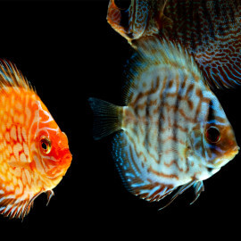 Discus Mix 6-7cm Grade A(Elevage - Taiwan)