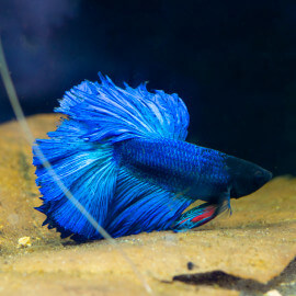 Betta Blue Selection n°19