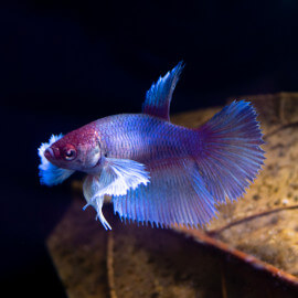 Betta Super Delta Big Ears Mâle n°20