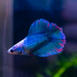 Betta Double Tail Femelle n°23