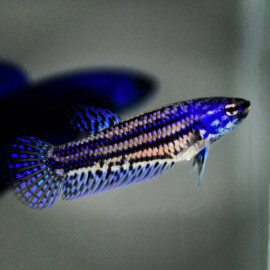Betta Alien Femelle Blue