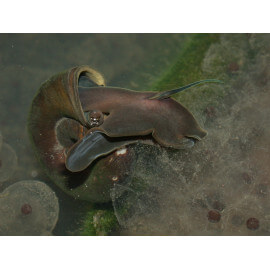 Escargot Planorbe sp